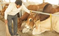 Trang trại bò siêu sạch lớn nhất miền Tây