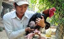 Kiếm hàng trăm triệu đồng từ nuôi gà Đông Tảo, chim công, vịt trời