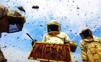 Gaza: Nghề nuôi ong có nguy cơ biến mất
