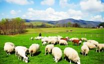 Trang trại cừu Border Springs Farm