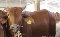 Tân Kỳ (Nghệ An): Chủ trang trại đầu tư 12 tỷ nuôi bò Úc