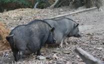 """Bở hơi tai với bầy lợn cắp nách của """"chúa đảo"""" người Mông"""