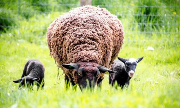 North Star Sheep Farm: Trại cừu thân thiện môi trường