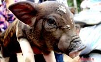 Độc đáo chợ lợn con ở Nghệ An