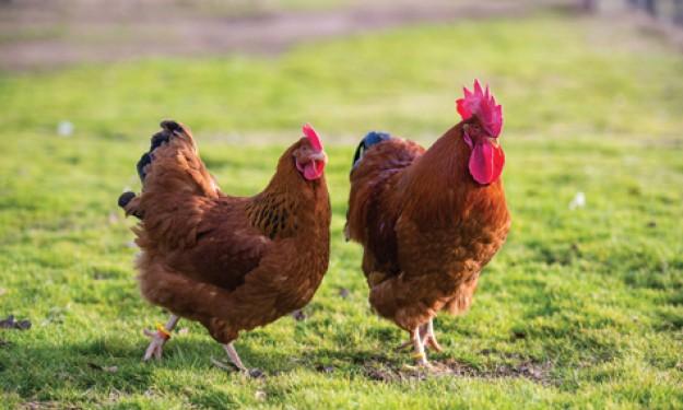 10 giống gà mắn đẻ