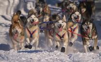 Hấp dẫn đua chó kéo xe tại Alaska
