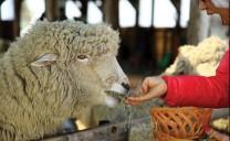 Trang trại cừu tuyệt đẹp ở Daegwallyeong