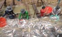 Người nuôi cá tra bắt đầu có lãi