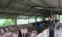 Giá thức ăn chăn nuôi: DN hạ, đại lý giữ, nông dân gánh!
