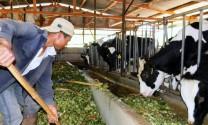 Tháo gỡ khó khăn cho ngành chăn nuôi bò sữa: Cần giải pháp căn cơ, lâu dài
