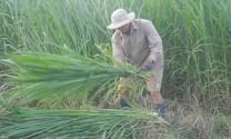 Bình Thuận: Tăng thu nhập nhờ trồng cỏ voi nuôi bò
