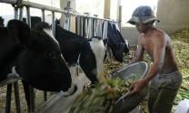 Lâm Đồng: Tháo gỡ khó khăn chăn nuôi bò sữa