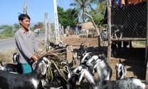 Nhơn Hải (Ninh Thuận): Hướng đến mô hình nuôi dê vỗ béo
