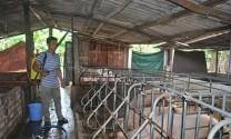 Bình Dương: Nguồn cung thịt heo: Không lo thiếu hàng vào dịp tết