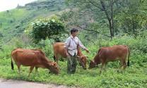 Sơn La: Chủ động tiêm phòng cho đàn gia súc, gia cầm