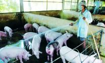 Phòng và trị bệnh tụ huyết trùng trên lợn