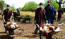 Nigeria: Hỗ trợ thiệt hại do dịch bệnh cúm gia cầm
