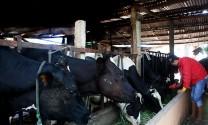 Lâm Hà (Lâm Đồng): Hỗ trợ người chăn nuôi bò sữa