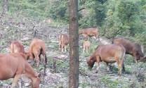 Đắk Nông: Nông dân xã Nam Dong chú trọng phát triển chăn nuôi bò
