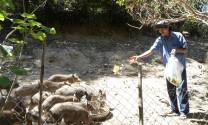 Thành công từ mô hình nuôi heo rừng thuần chủng