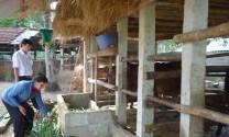 Bình Định: Nông dân Hoài Nhơn phát triển trồng cỏ nuôi bò