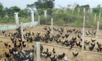 Sơn La: Bảo tồn và phục hồi giống gà đen địa phương
