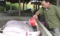 Phú Thọ: Hiệu quả từ trang trại nuôi lợn thịt lớn nhất ở Phương Viên