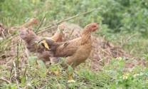 Thái Nguyên: Nuôi gà thả vườn cho hiệu quả cao