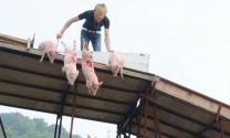 Lợn cũng có thể…bơi