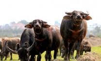 Tuyên Quang: Chăn nuôi trâu sinh sản quy mô nông hộ