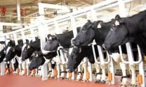 Cụm trang trại chăn nuôi bò sữa ứng dụng công nghệ cao lớn nhất châu Á