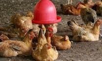 Tập trung tháo gỡ khó khăn cho doanh nghiệp chăn nuôi