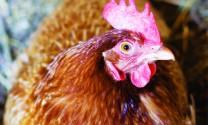 Nuôi gà đẻ trứng VietGAP: Bền vững và tăng thu nhập