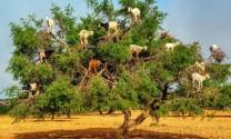 Nuôi dê trên cây ở Morocco