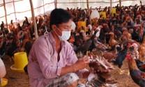 Bình Định: Chủ động phòng chống dịch bệnh gia súc, gia cầm