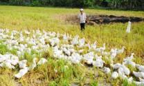 Đồng Tháp: Thu tiền tiêm phòng vaccin cúm gia cầm đối với đàn vịt chạy đồng ngoài tỉnh