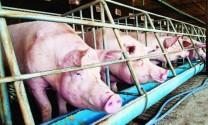 Chăn nuôi lợn trước yêu cầu hội nhập