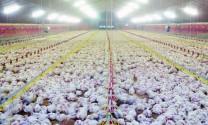 Hà Lan: Loại bỏ kháng sinh trong chăn nuôi