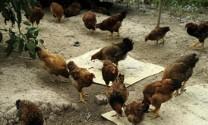 Hà Nam: Lãi lớn nhờ nuôi gà, ngan đẻ trứng