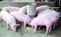Hà Nội: Nuôi lợn siêu lạc lãi 300 triệu đồng/năm