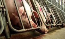Đồng Nai: Phát triển chăn nuôi lợn cho thu nhập khá