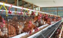 Chăn nuôi chủ động để hội nhập
