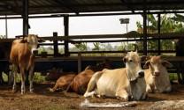 Bình Dương: Triển vọng từ nuôi bò sinh sản