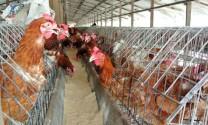 Đồng Nai: Huyện Trảng Bom hướng tới tăng tỷ trọng chăn nuôi