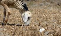 Ninh Thuận: Chăn nuôi cừu gặp khó vì nắng nóng