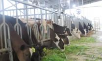 Khánh thành vùng chăn nuôi bò sữa bền vững ở Hà Nam