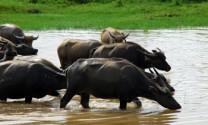 Phú Yên: Phòng và trị bệnh trâu bò