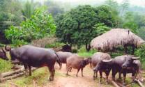 Phòng trị bệnh thường gặp ở trâu, bò