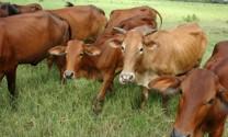 Thái Bình: Chăn nuôi gia súc, gia cầm ổn định