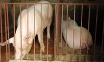 Chăn nuôi trước ngưỡng cửa hội nhập